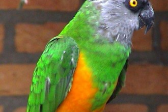 Senegal parrot Bird in pisces