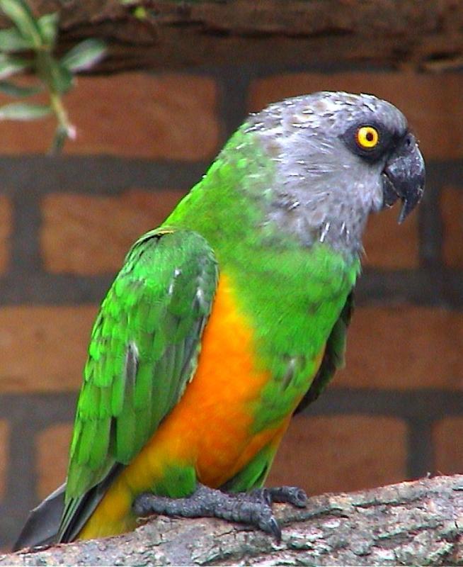 Birds , 7 Beautiful Senegal Parrot : Senegal Parrot Bird