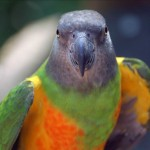 Senegal parrot , 5 Nice Senegal Parrot In Birds Category