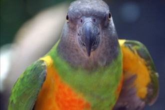 Senegal parrot in Cell
