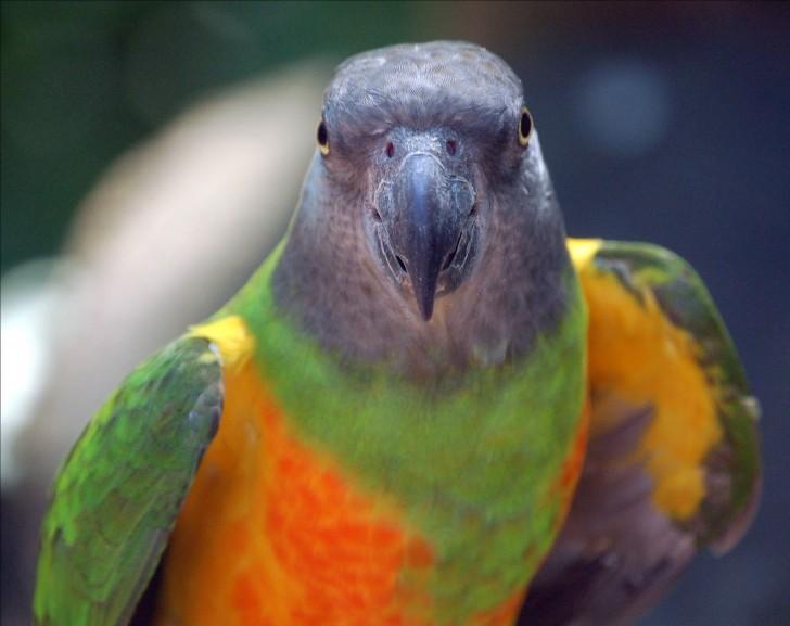 Birds , 5 Nice Senegal Parrot : Senegal Parrot