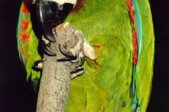 Severe Macaw in Dog