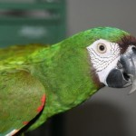 Severe Macaw Baby , 8 Fabulous Severe Macaw In Birds Category