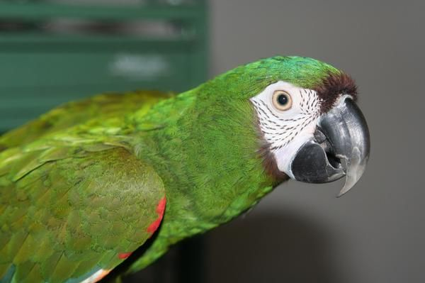 Birds , 8 Fabulous Severe Macaw : Severe Macaw Baby