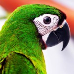 Severe Macaw , 8 Fabulous Severe Macaw In Birds Category