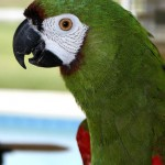 Severe macaw profile , 8 Fabulous Severe Macaw In Birds Category