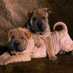 Shar Pei Puppies , 7 Cute Pictures Of Shar Pei Dogs In Dog Category