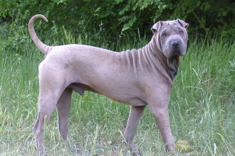 Shar Pei Dog , 7 Cute Pictures Of Shar Pei Dogs In Dog Category