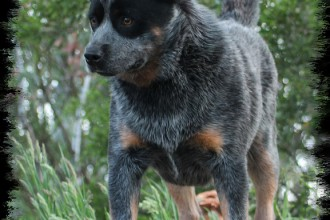 Shih Tzu Dog , 6 Cool Australian Cattle Dog Pictures In Dog Category