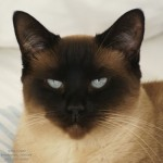 Siamese Cats Picture , 7 Nice Siamese Cats Pictures In Cat Category