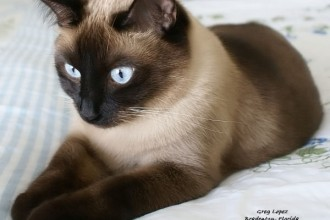 Siamese Cats Picture , 6 Cute Pictures Of Siamese Cats In Cat Category