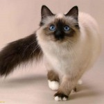Siamese cat , 7 Nice Siamese Cats Pictures In Cat Category