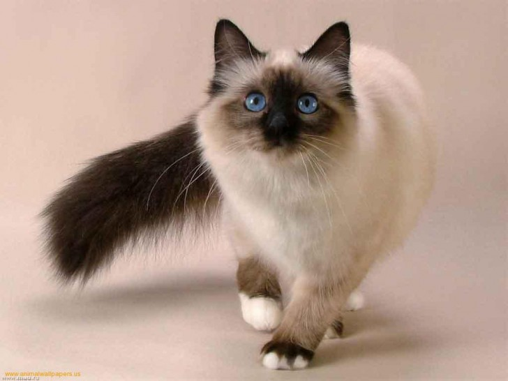 Cat , 7 Nice Siamese Cats Pictures : Siamese Cat
