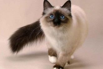 Siamese cat in pisces
