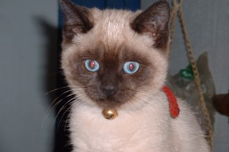 Siamese Cats , 7 Nice Siamese Cats Pictures In Cat Category