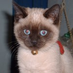 Siamese kittens , 6 Cute Pictures Of Siamese Cats In Cat Category