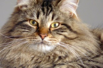 Siberian Cats , 8 Nice Siberian Cat Pictures In Cat Category