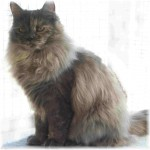 Siberian kittens , 8 Nice Siberian Cat Pictures In Cat Category