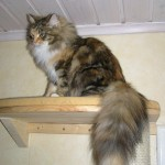 File:Siberian cat tail.JPG - Wikimedia Commons , 8 Nice Siberian Cat Pictures In Cat Category