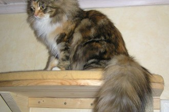 File:Siberian Cat Tail.JPG   Wikimedia Commons , 8 Nice Siberian Cat Pictures In Cat Category