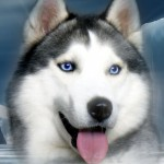 Sled Dog , 7 Nice Pictures Of Sled Dogs In Dog Category