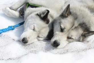 Sled Dogs Flickr , 7 Nice Pictures Of Sled Dogs In Dog Category