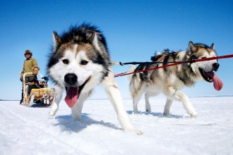 Sled Dogs Photo , 7 Nice Pictures Of Sled Dogs In Dog Category