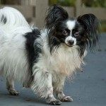 Small Papillon Dog , 4 Beautiful Pictures Of Papillon Dogs In Dog Category