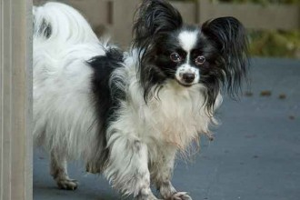 Small Papillon Dog in Cat