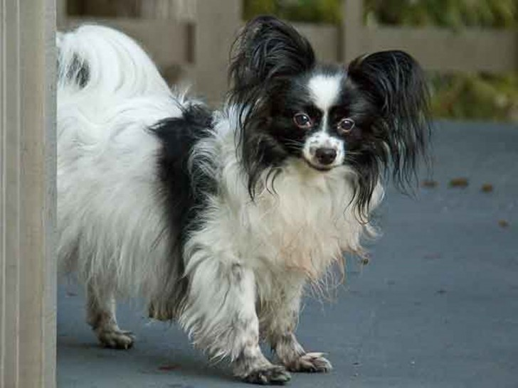 Dog , 4 Beautiful Pictures Of Papillon Dogs : Small Papillon Dog