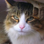 Sniffy Tabby Cat , 6 Wonderful Tabby Cat Pictures In Cat Category