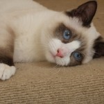 Snowshoe Cat Siamese , 6 Charming Snowshoe Cat Pictures In Cat Category