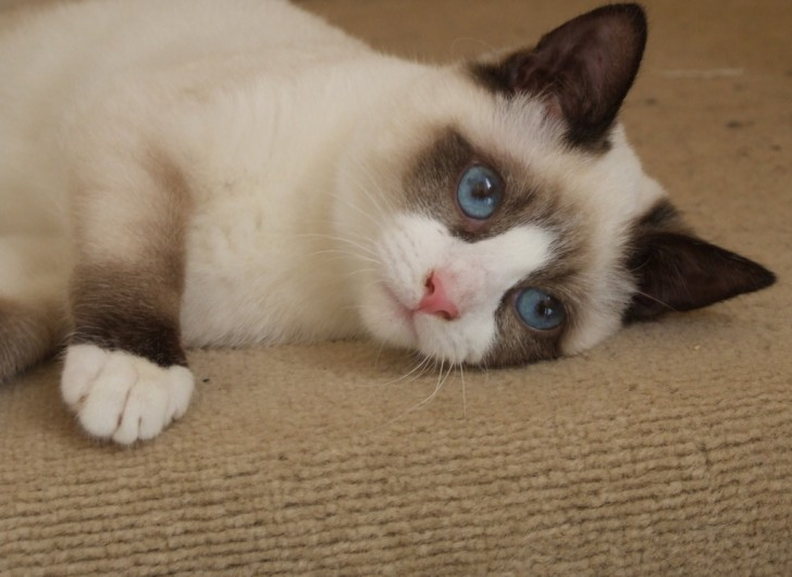 Cat , 6 Charming Snowshoe Cat Pictures : Snowshoe Cat Siamese
