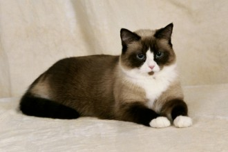 Snowshoe Cats in Dog