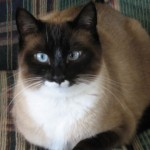 Snowshoe Kittens , 6 Charming Snowshoe Cat Pictures In Cat Category