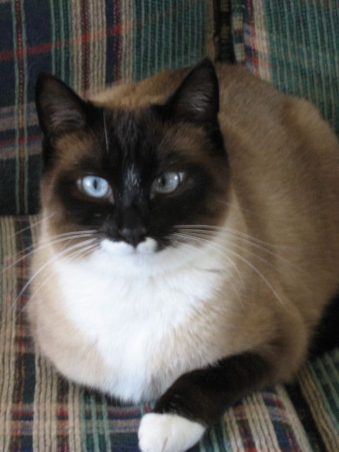 Cat , 6 Charming Snowshoe Cat Pictures : Snowshoe Kittens