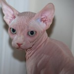 Sphynx Breeder , 7 Nice Pictures Of Hairless Cats In Cat Category