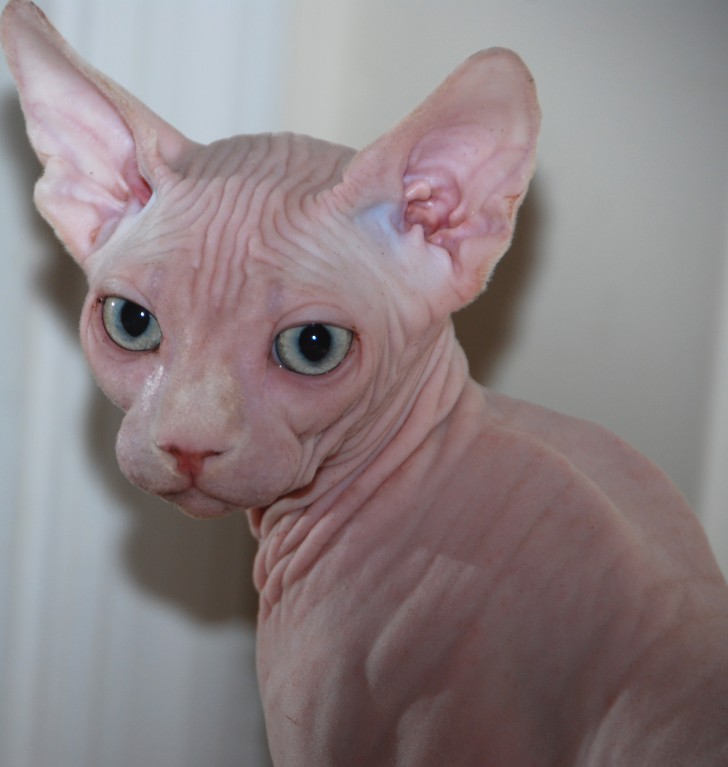 Cat , 7 Nice Pictures Of Hairless Cats : Sphynx Breeder