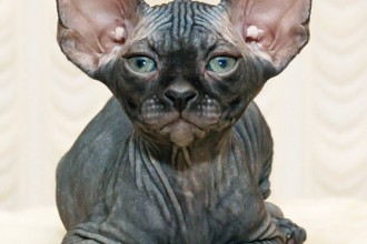 Sphynx Cat in Muscles