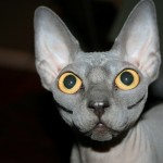 Sphynx Cat Pictures , 7 Top Rated Pictures Of Sphynx Cats In Cat Category