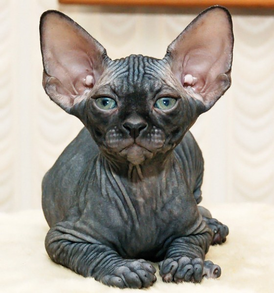 Cat , 6 Wonderful Sphynx Cat Pictures : Sphynx Cat