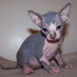 Sphynx Kittens , 7 Nice Pictures Of Hairless Cats In Cat Category
