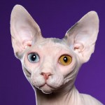 Sphynx cat , 7 Top Rated Pictures Of Sphynx Cats In Cat Category