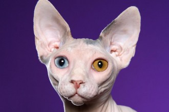 Sphynx cat in Dog