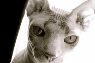 Sphynx Cat Animated , 7 Top Rated Pictures Of Sphynx Cats In Cat Category