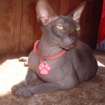 Sphynx lady Cat , 6 Wonderful Sphynx Cat Pictures In Cat Category