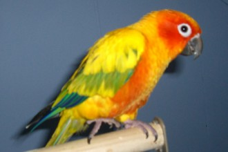 Sun Conure , 7 Beautiful Sun Conure Parrot In Birds Category
