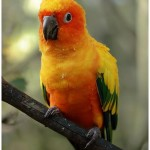 Sun Conure Parrot Birds , 7 Beautiful Sun Conure Parrot In Birds Category