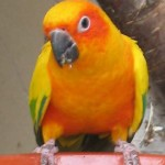 Sun conures Aratinga solstitalis , 7 Beautiful Sun Conure Parrot In Birds Category
