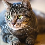 Tabby Cat Images , 6 Cute Pictures Of Tabby Cats In Cat Category